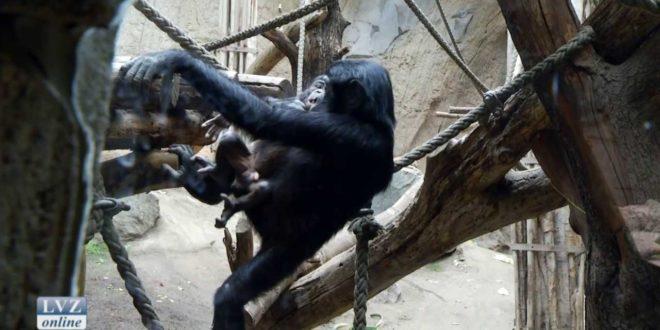 Bonobo-Babys im Leipziger Zoo entwickeln sich prächtig
