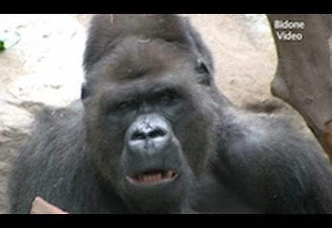 Leipziger Zoo - Gorillas / Affen
