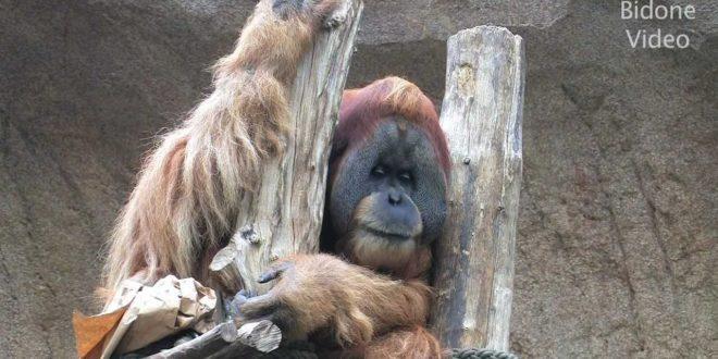 Leipziger Zoo - Schimpansen & Orang-Utans - Schimpansen - Affen - Affen