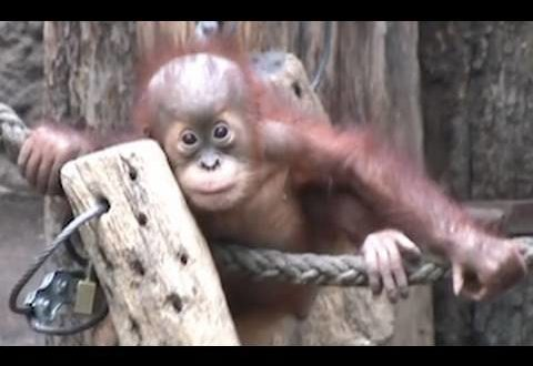 Süße Orang-Utan-Babys - Affen im Leipziger Zoo
