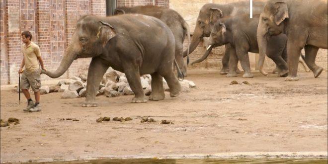 Zoo Leipzig, Elefanten Jungbulle Edgar, Oktober 2020 und Februar 2016 Film