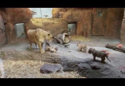 ??? Zoo Leipzig Löwenbabys 2020 ???