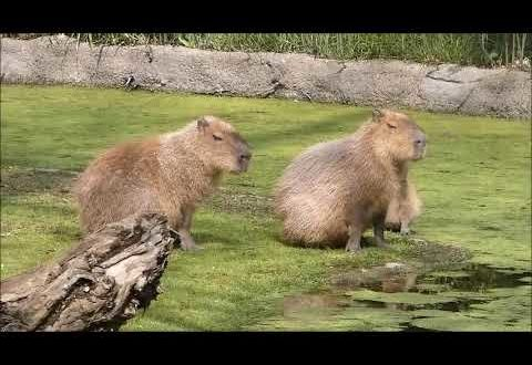 Capybara, Großer Mara, Mähnenwolf - Leipziger Zoo, Sachsen, Deutschland
