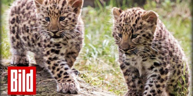 Der Leipziger Zoo stellt Amur-Leoparden vor