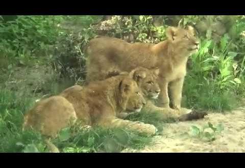 Die Löwenkinder Hanna, Elsa und Matteo aus dem Leipziger Zoo