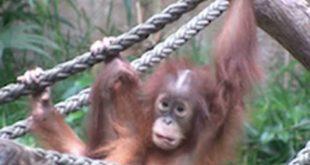 Leipziger Zoo - Orang-Utan-Affe