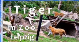 Tiger 🐅 im Leipziger Zoo 😘 verspielt