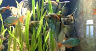 Altum Kaiserfisch im Leipziger Zoo Teil 1
