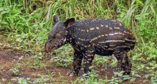 Baby Tapir im Leipziger Zoo