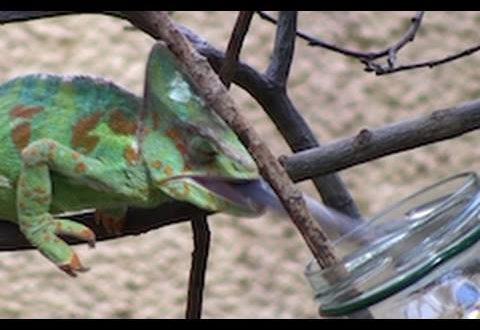 Jemen Chamäleon isst riesige Grillen - Zoo Leipzig - Chamäleon isst Heuschrecken