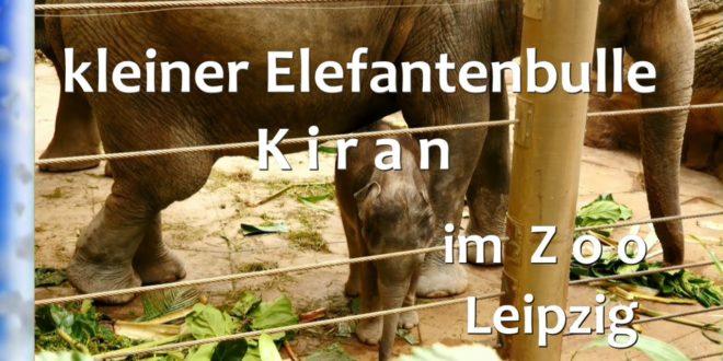 Kleiner Elefantenbulle 🐘 K iran im Zo Leipzig 2020