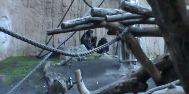 Leipziger Zoo, Bonobos