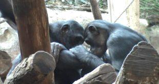 Leipziger Zoo, Schimpansen