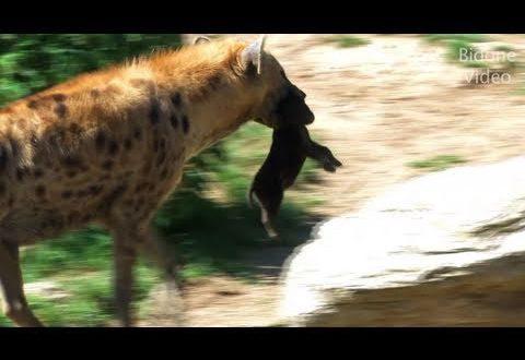 Leipziger Zoo: Über Erdmännchen, Hyänenbabys und die afrikanische Savanne