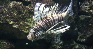 Löwenfisch im Leipziger Zoo