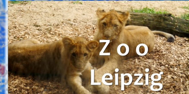 Löwenkinder 🦁 Mateo, Elsa und Hanna spielen im Leipziger Zoo