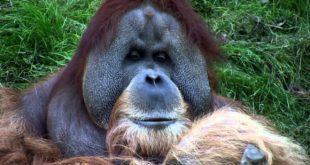 Orang-Utans - Bimbo die oberste Autorität seines Clans - Leipziger Zoo 2012