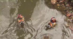 Wilde Mandarinenenten im und um den Leipziger Zoo