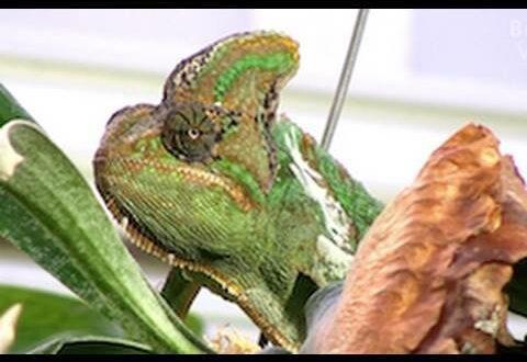 Chamäleon - Jemen-Chamäleon im Leipziger Zoo