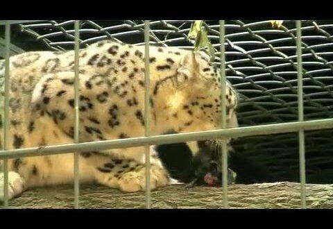 Leipziger Zoo: Schneeleopard frisst Meerschweinchen