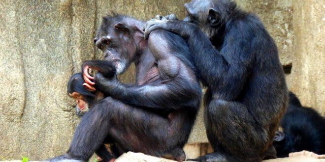 Nette Baby-Affenfamilie |  Sich gegenseitig verlieren |  Leipziger Zoo Pongoland