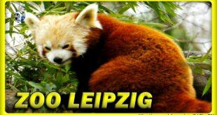 🔴 Roter Panda im Leipziger Zoo