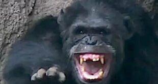 Schimpanse gegen Schimpanse - Schimpansen streiten sich im Leipziger Zoo