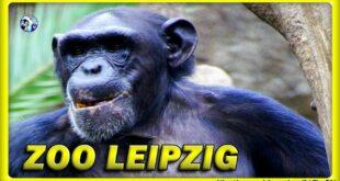 🔴 Zeit für Schimpansen • Leipziger Zoo / Schimpansen / Affen