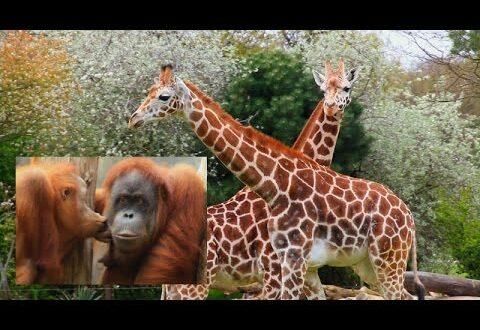 Afrika Savanne & Pongoland - Leipziger Zoo