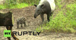 Deutschland: Seltener Baby-Tapir lebt im Leipziger Zoo