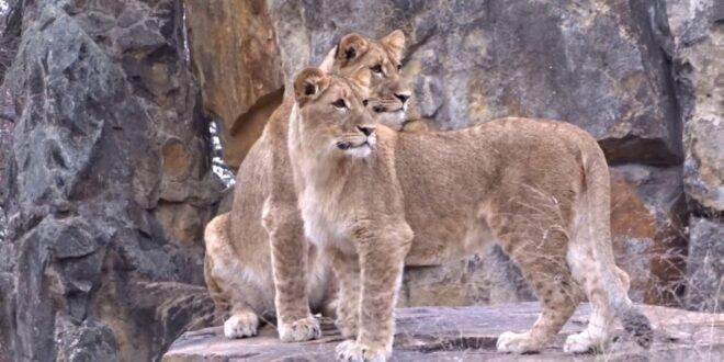 Drei Löwen aus Leipzig erkunden am 07. Dezember 2020 ihr neues Gehege im Berliner Zoo