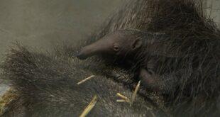 Erstes Ameisenbärbaby im Leipziger Zoo