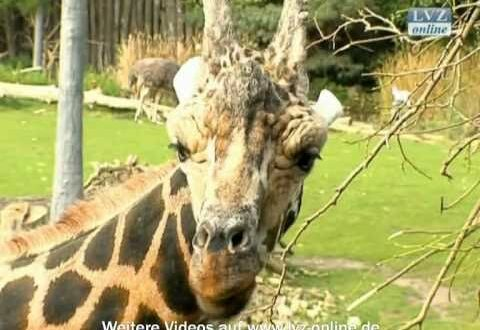 Giraffentaufe im Leipziger Zoo