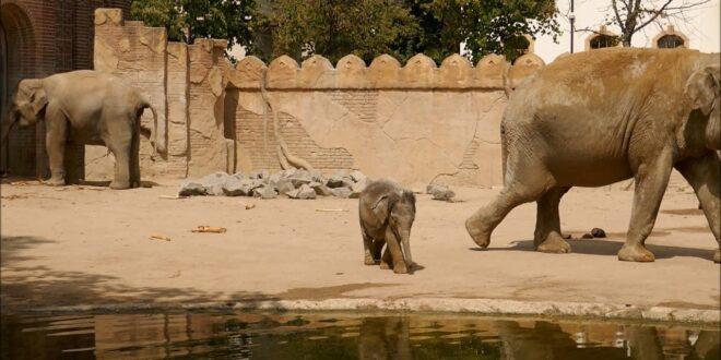 Leipziger Zoo, Der kleine Elefant Ben Long, 16 07 2019