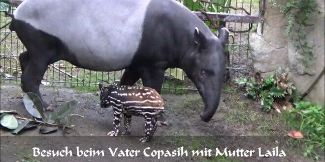 Leipziger Zoo: Kleiner Tapir erkundet 2016 sein Gehege