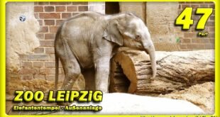 🔴 ZOO LEiPZiG • Elefantenbaby, Rani, Don Chung und Voi Nam / Reisen - Слоненок - зоопарк - Tiere