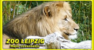 🔴 ZOO LEiPZiG • Majos 3 Löwenbabys / Löwen - Слоненок - зоопарк - львы - Tiere - Reisen