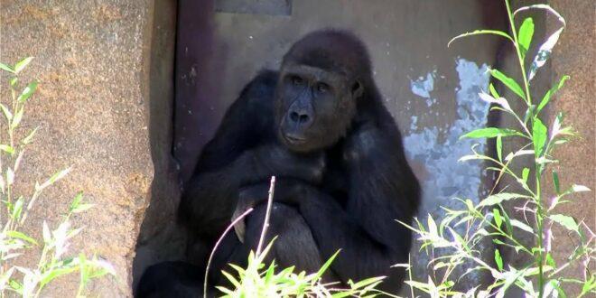 Zoo Leipzig 2012 - Gorilla - Teil 1 von 2