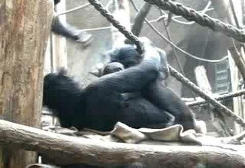 Bonobo-Nachkommen im Leipziger Zoo