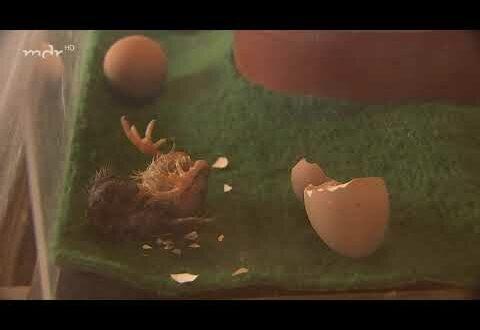 Geburtswunder im Hühnerstall
