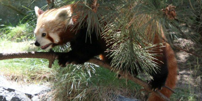 Kleiner Panda / Roter Panda: Zoo Leipzig 2020