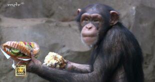 Kuchenkampf unter den Schimpansen