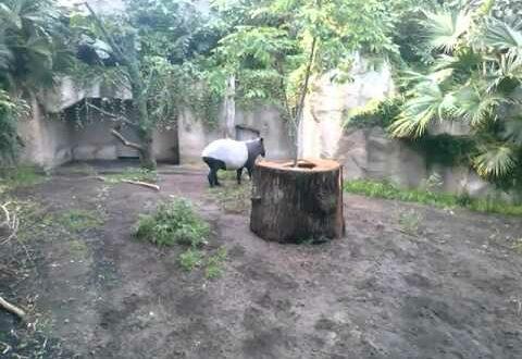 Leipzig Zoo, Тапиры