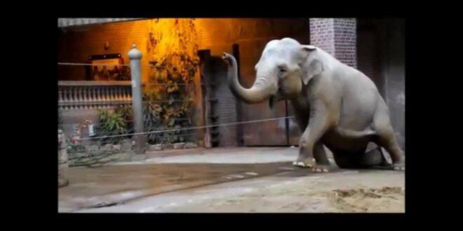 Vorbereitung auf die Geburt der Elefantenkuh Hoa im Leipziger Zoo