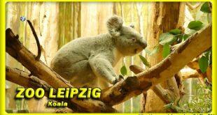 🔴 ZOO LEiPZiG • KOALA • коала - животные - ANiMALS  TRAVEL