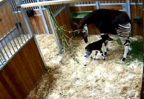 Erster Okapin-Nachwuchs im Leipziger Zoo