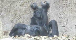 Gorilla Baby Diara im Leipziger Zoo