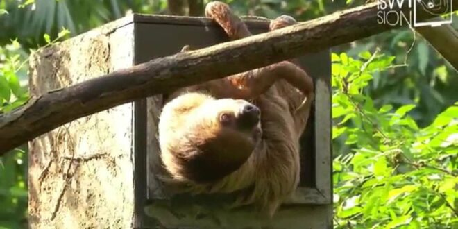ISWIsion 2015 |  Beitrag |  Faultiere im Zoo Leipzig (Samstag)