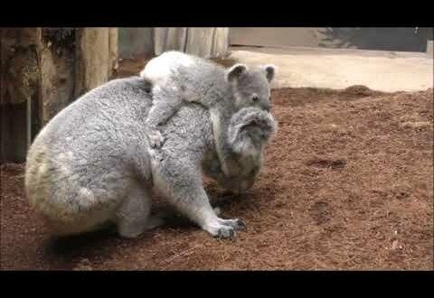 Junger Koala mit Mutter Mandie unterwegs im Showgehege