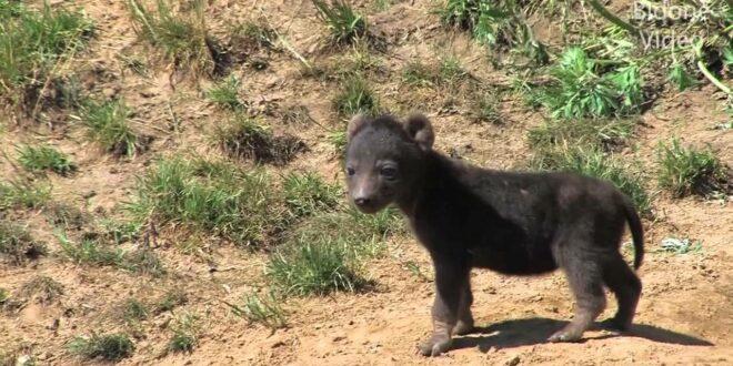 Leipziger Zoo: Von Erdmännchen, Hyänenbabys und der Afrikanischen Savanne